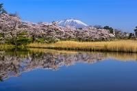岩手県 盛岡市 高松の池 サクラと岩手山