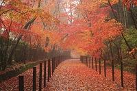 京都府 光明寺 雨に煙る敷き紅葉の参道と薬医門