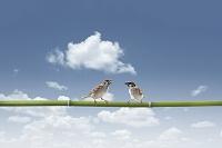 青竹に止まる2羽のスズメ
