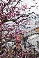 京都府 清水寺 紅梅