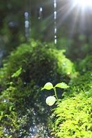 岩からしみ出す水と若葉