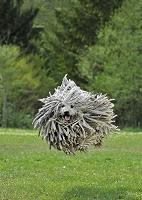犬  プーリー
