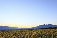 山梨県 北杜市 ひまわり畑と夕暮れの空