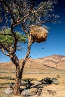 ナミビア シャカイハタオリのコロニー(巣)