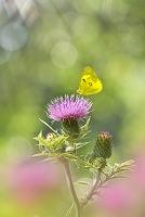 アザミの花にモンキチョウ