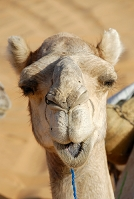 ラクダの顔