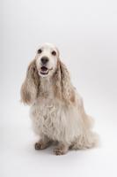 イングリッシュコッカースパニエルの成犬