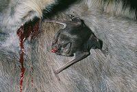 ロバの血を吸うチスイコウモリ