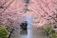 京都府 伏見濠川沿いの桜並木と十石船