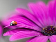 花に止まるナナホシテントウムシ