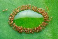 蜜を溜める蟻