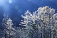長野県 上高地の田代池のカラマツの霧氷