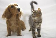 ソファーの上のダックスと子猫