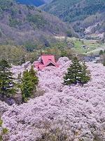 長野県 桜 高遠城址公園