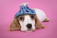 コッカースパニエルの子犬