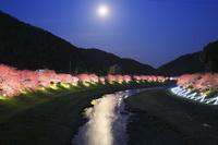 静岡県 青野川沿いのライトアップされたみなみ桜と月