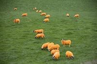イギリス スコットランド 動物の群れ