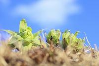 芽を吹いたフキノトウと青空
