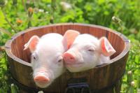 北海道 子豚