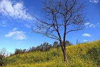 千葉県 菜の花と青空風景