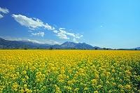 長野県 千曲川河川敷の菜の花畑