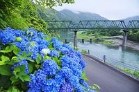 高知県 第一三島橋と四万十川とアジサイ