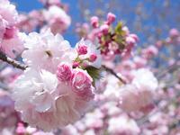 八重桜 糸括