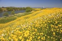 福岡県 宝満川河川敷の菜の花