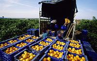 スペイン オレンジの収穫
