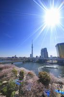 東京都 台東区 隅田公園の桜とスカイツリー