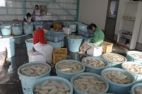 徳島県 レンコン 皮むき作業
