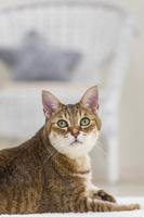 カーペットに横たわり振り向く猫