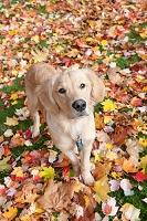 ゴールデンレトリバー 犬