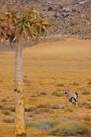 南アフリカ グーハップ自然保護区のオリックス