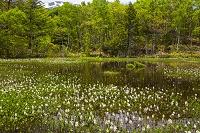長野県 一の瀬園地 ミツガシワ群生