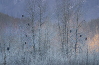 ハクトウワシの群れ