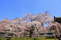 京都府 醍醐寺 霊宝館の巨木の枝垂れ桜
