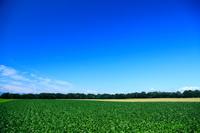 ビート畑と青空