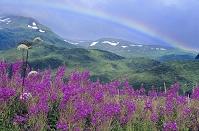 アメリカ合衆国 アラスカ コディアック島 ヤナギランと虹