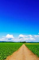 北海道 ビート畑の道