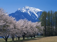 山梨県 サクラと甲斐駒ケ岳