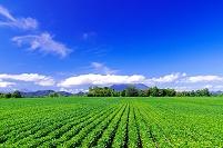 北海道 広い豆畑