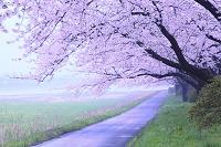 岩手県 北上市 北上展勝地 桜並木 朝霧