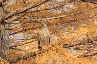 北海道 晩秋の森のシマフクロウの雄姿