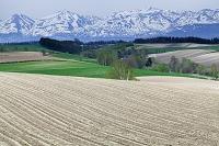 甜菜とビートの作付けの丘と残雪の十勝連峰 美瑛町