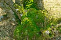 三重県 苔の樹