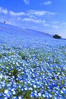 日本 茨城県 ネモフィラの咲く春のひたち海浜公園