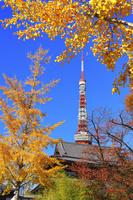 東京都 増上寺の銀杏の黄葉と東京タワー