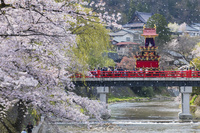 岐阜県 桜咲く高山祭 総曳き揃え