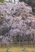 京都府 京都御苑 朝日に染まる枝垂れ桜